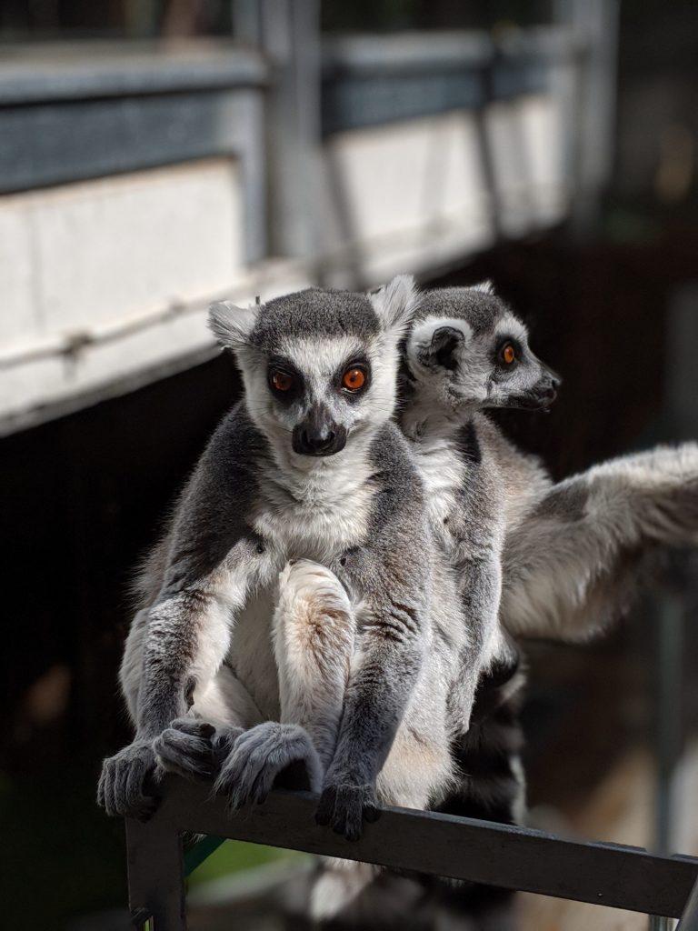 The lemurs at the Bio Domo in Granada Science Park