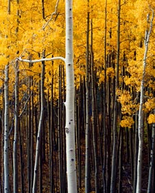 "Aspens, San Miguel River, San Juan Rockies, Colorado, 1974 by Philip Hyde. One of the images Lumiere is showing as part of the Lumiere Holiday Collection. The other two Philip Hyde photographs shown as part of the online exhibition are ""Virginia Creeper, Northern Sierra Nevada, California, 1977"" and ""Mt. Denali, Reflection Pond, Denali National Park, Alaska, 1971."""