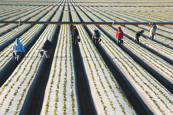 12. Farm Workers, Strawberry Fields Near Oceano and Guadalupe, California. I stumbled upon this field of workers and others picking strawberries and cabbages on the way to the Oceano Dunes, some sections of the dunes are called the Nipomo Dunes and Pismo Dunes in each respective town the dunes reach across. By seeking out the wildest part of the Oceano Dunes I also discovered several other subjects I had been thinking of photographing in the future. The vantage point of the top of my van came in handy again here.