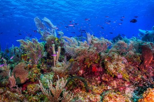 Coral Reef, Little Cayman, Caribbean, Nikon D700, Nauticam underwater housing, dual Inon Z240 strobes. This photograph represents a lot of what I enjoy about the underwater world. Everything you see is animal life. Animals familiar, and some very foreign to land dwellers. All of which make the ocean a fascinating place to explore, and deserving of our attention to preserve the highly complex chain of life that exists within it.