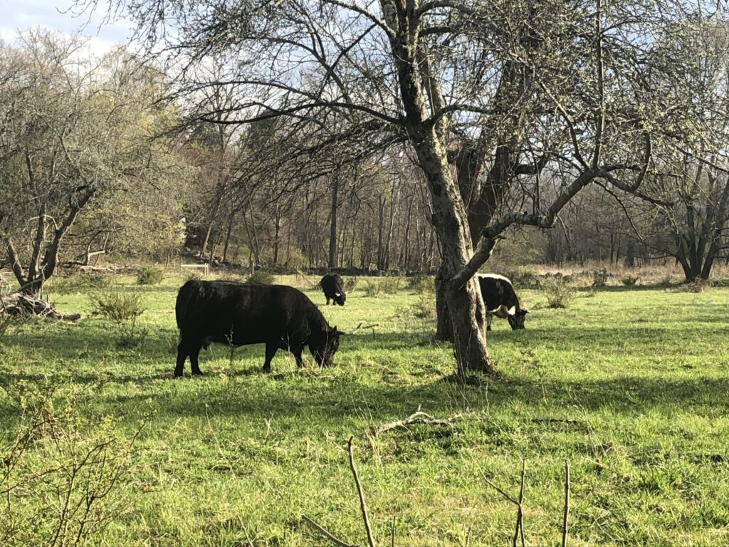 Autumn, Holly, and Like are heritage cattle at Minute Man National Park.