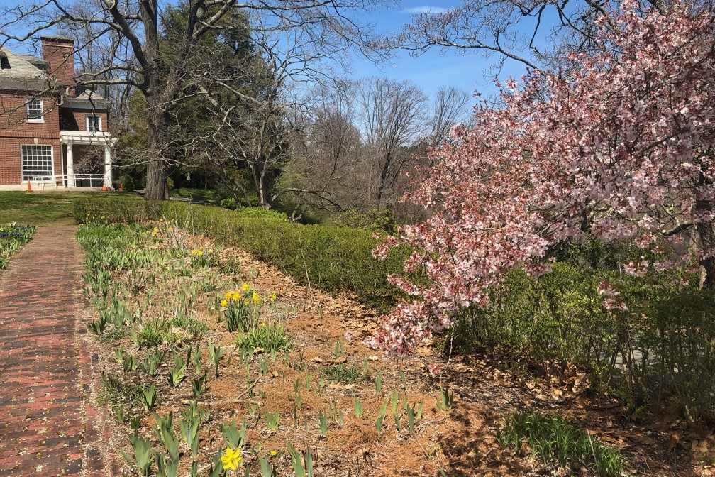 Cherry tree in bloom at the Buttrick Garden, adjacent to the North Bridge Visitor Center, Minute Man National Historical Park.