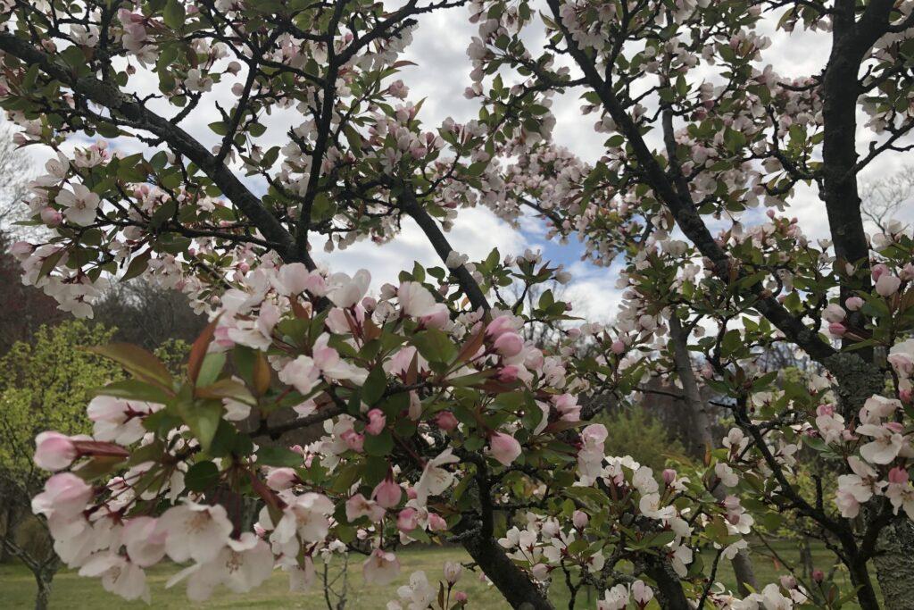 Flowering trees near Fiske Hill Trail, Minute Man National Historical Park.