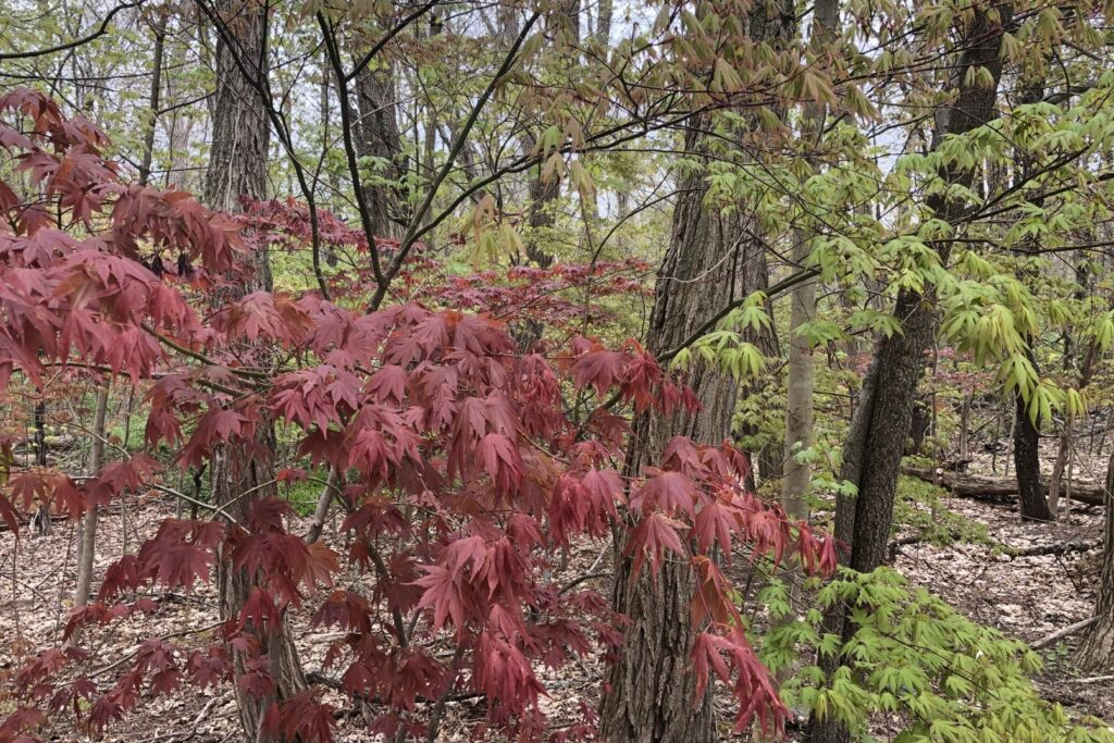 Red and Green Japanese Maples leafing out on the path to Hartwell Tavern, Minute Man National Historical Park.