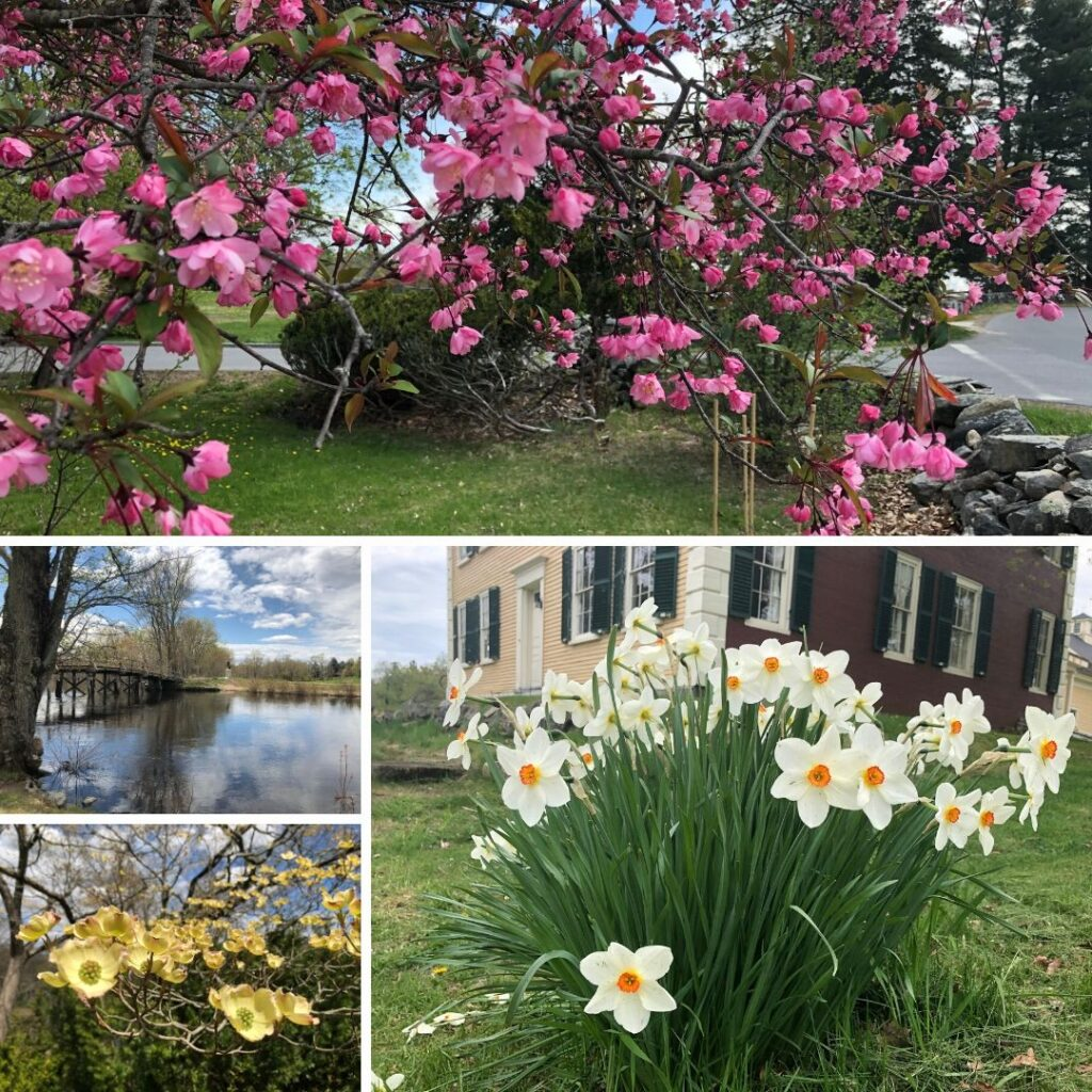 Flowers and flowering trees in bloom May 2020 at Minute Man National Historical Park.