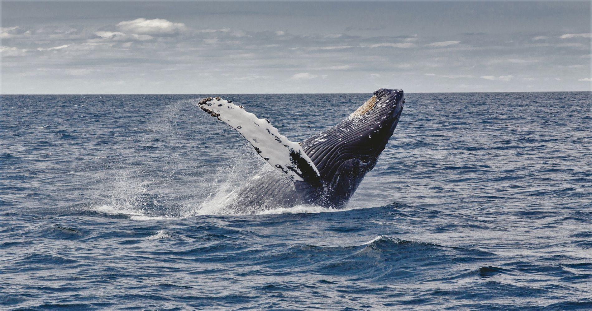 Dark humpback