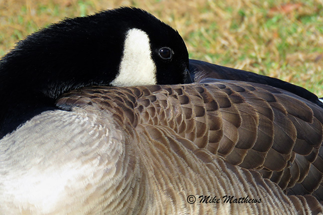 Canadian Goose email copy