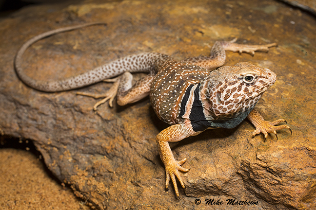 Collard lizard email copy