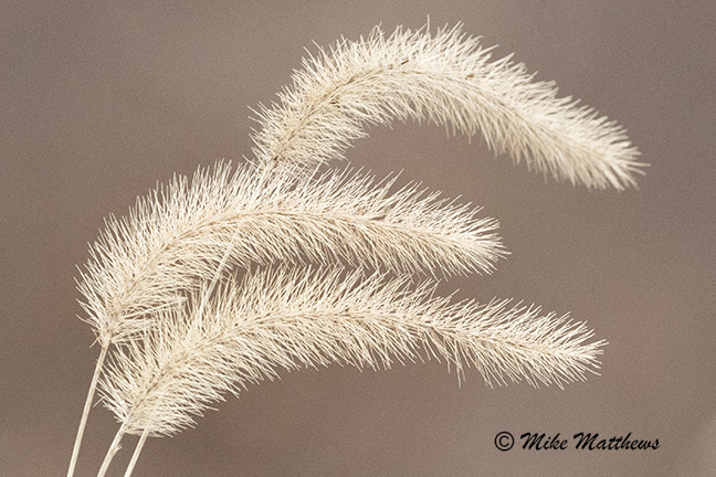 Foxtail grass email copy
