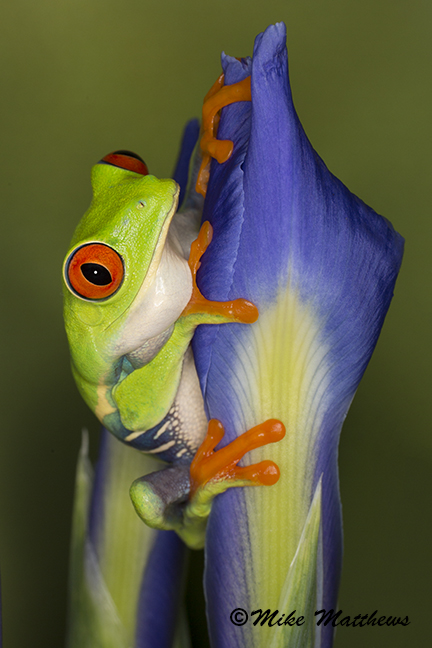 Red Eyed tree frog email copy