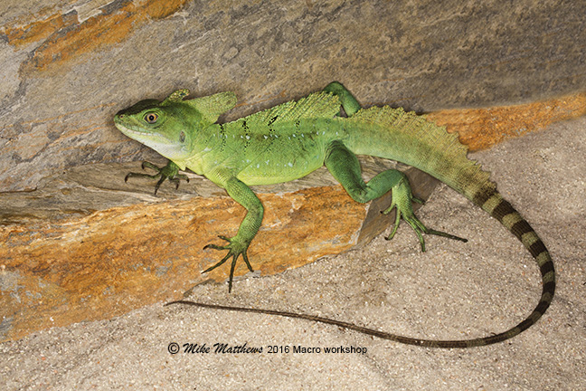 Green Plumed Basilisk