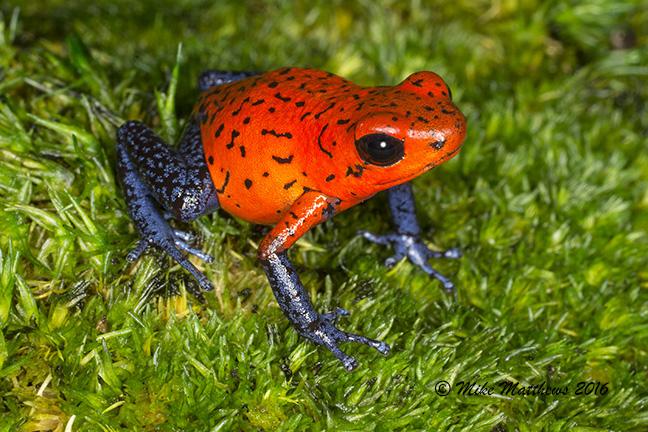 Nicaragua Blue Jean Pulilio Dart Frog email copy