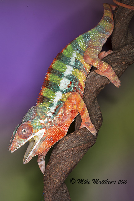 Panther Chameleon email copy