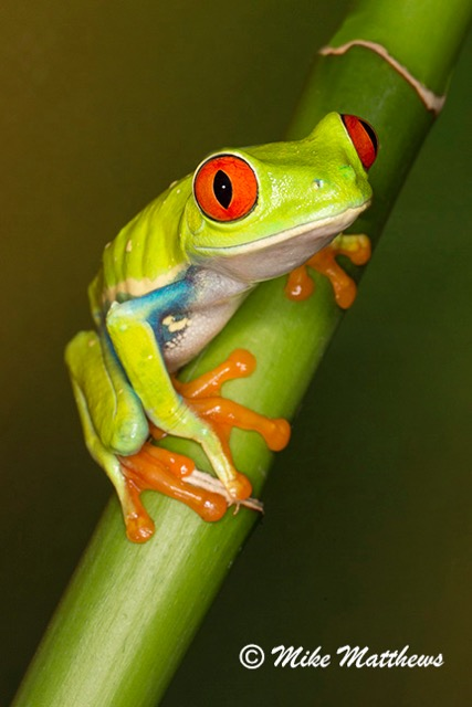Red Eyed Tree frog email