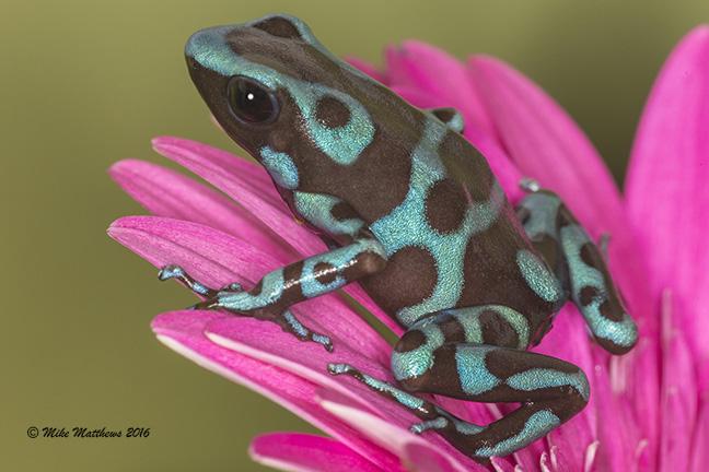Super Blue Dart frog email copy