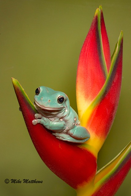 Whites Tree Frog email copy
