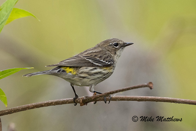 Yellow Rumped Warbler email copy