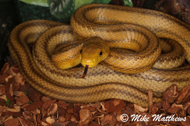 Yellow rat snake email copy