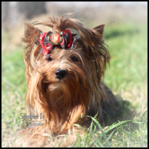 Yorkshire Terrier Puppies | AKC Yorkshire Terriers | Semper