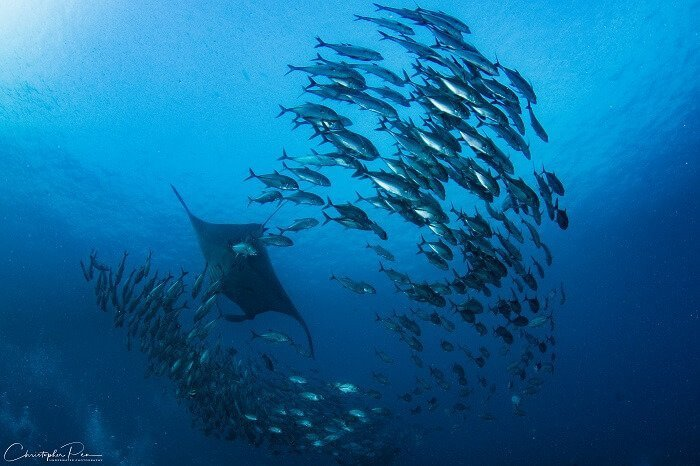 Manta and School of Fish in Raja Ampat