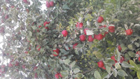 Regent Apples