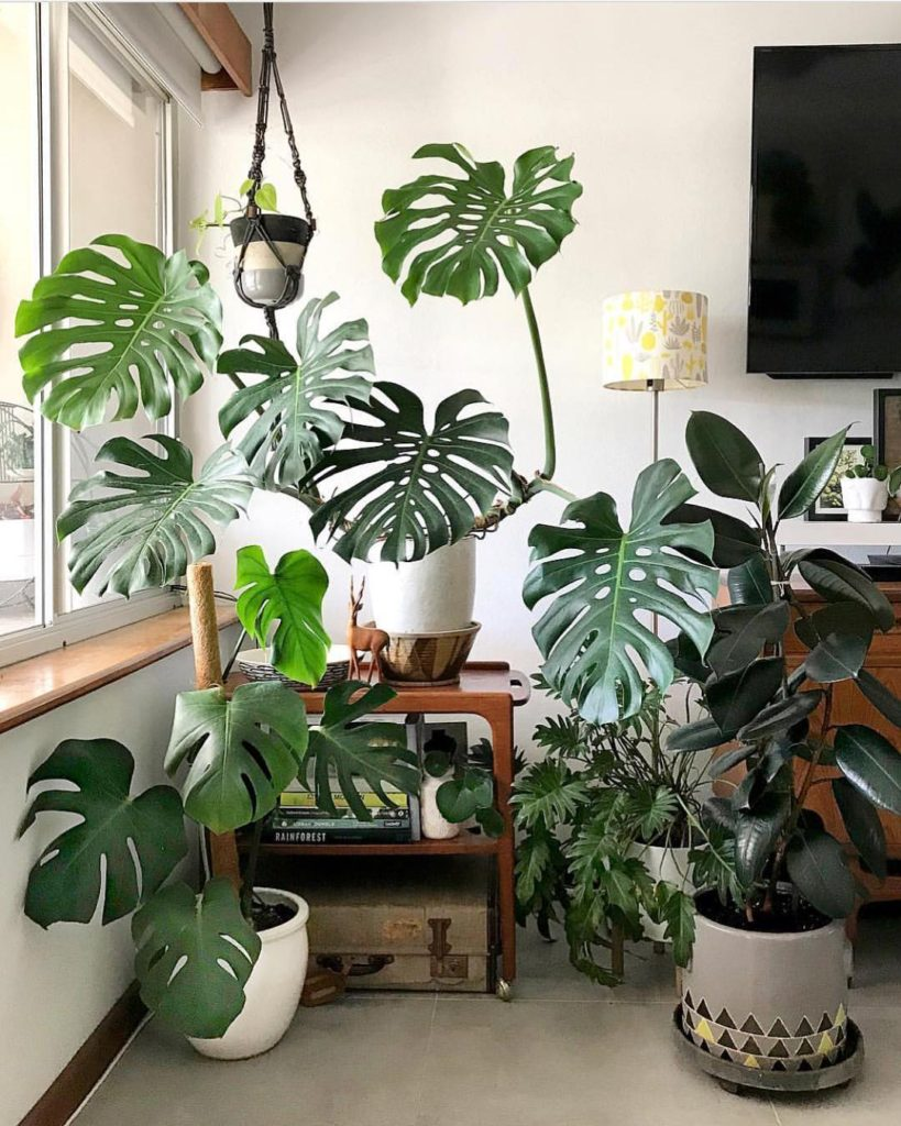 Monstera Deliciosa tropical plants | Girlfriend is Better