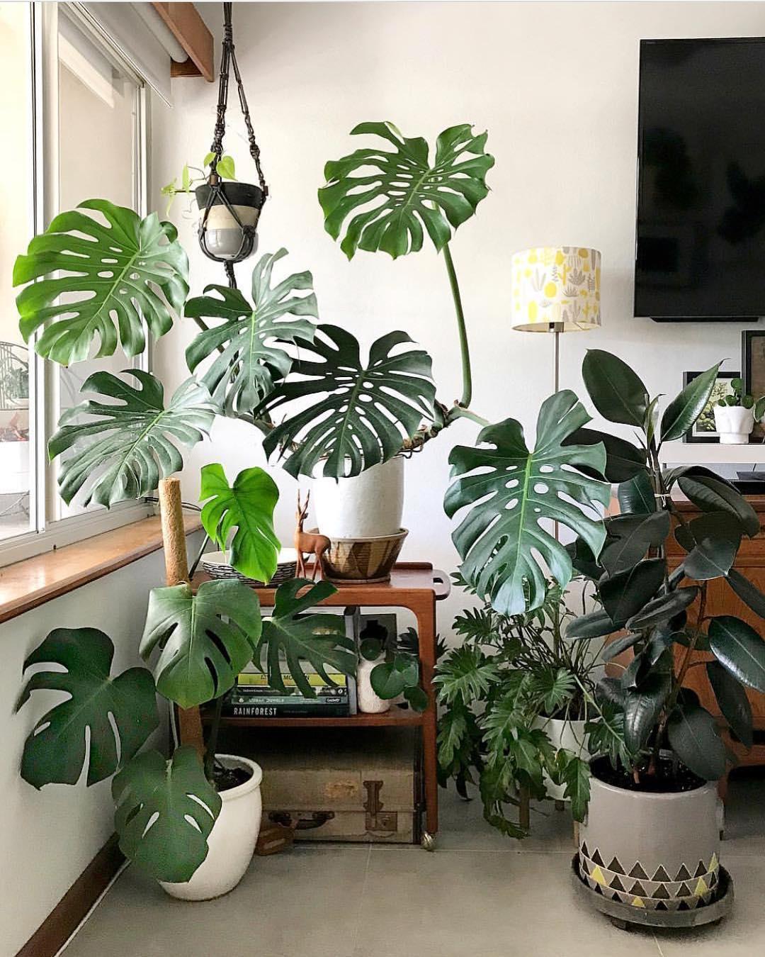 Monstera Deliciosa tropical plants | Girlfriend is Better