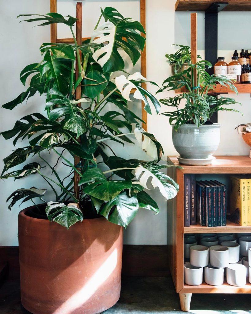 Monstera Deliciosa tropcial house plant ceramic pot | Girlfriend is Better