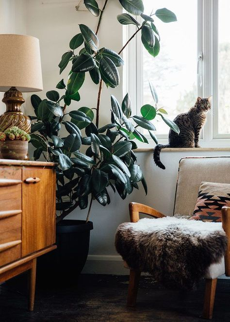 rubber plant | Feng Shui mind-century modern console table chair living room | Girlfriend is Better