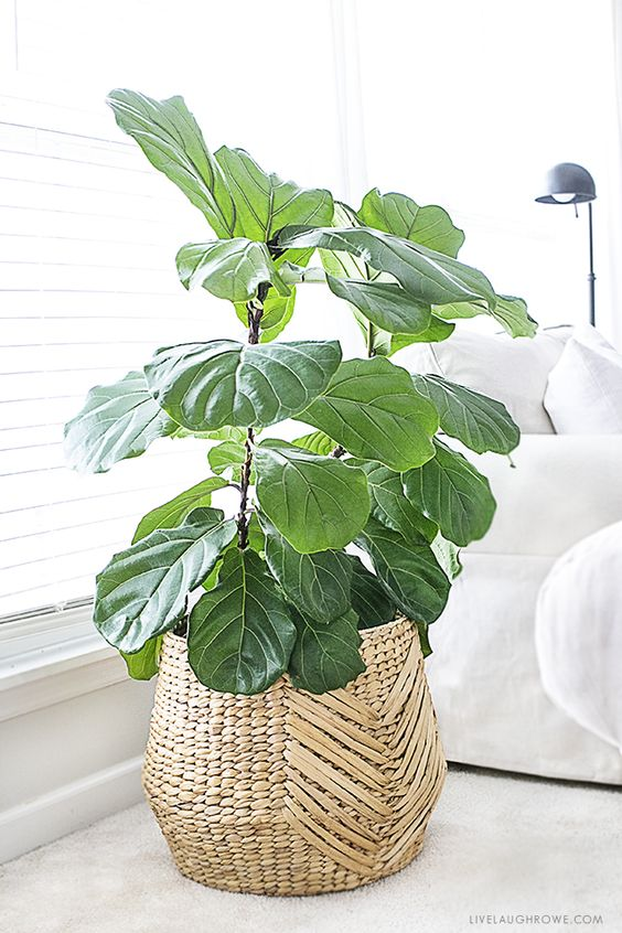 fiddle leaf figs | wide plant low maintenance indoor basket planter | Girlfriend is Better