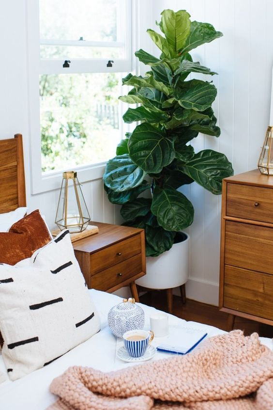fiddle leaf figs | ceramic mid-century modern planter stand wood element Feng Shui | Girlfriend is Better