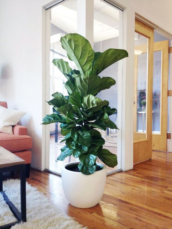 fiddle leaf figs | white ceramic planter care guide indoor plant ficus lyrata | Girlfriend is Better