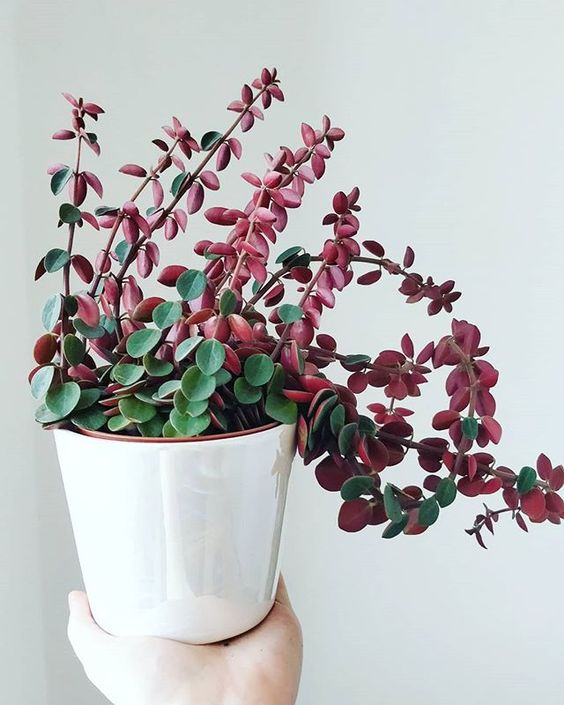 pink plants | peperomia plant care white pottery | Girlfriend is Better