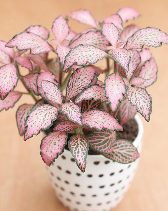 pink plants | Fittonia plant care moist soil watering | Girlfriend is Better