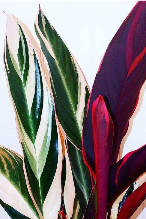 patterned foliage | Stromanthe pink plants houseplant | Girlfriend is Better