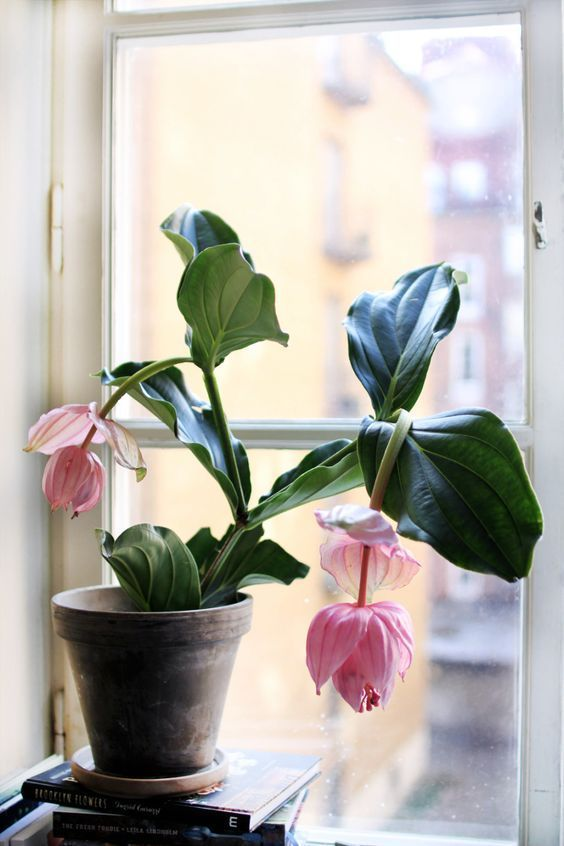 plant minimalism | Medinilla Magnifica flowering window | Girlfriend is Better