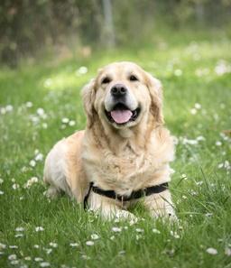 Labrador laying in grass