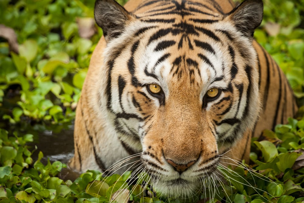 International Tiger Day – July 29, 2016