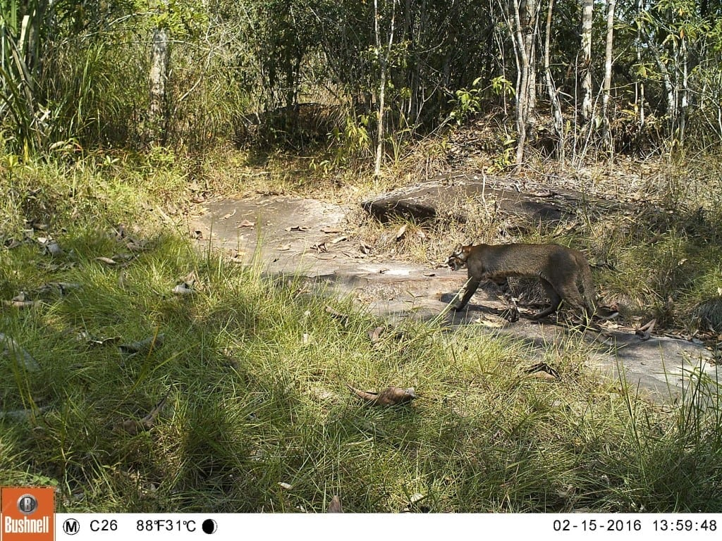 Rare Cat Species Spotted on Camera Trap Footage