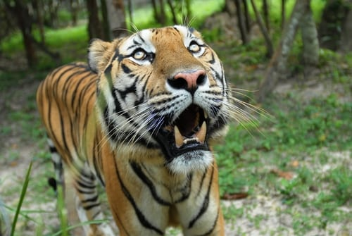 Tiger close up – Camera trap @ Phnom Tamao Wildlife Rescue Center