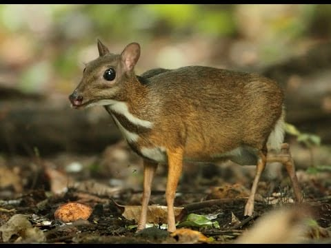 Monitoring tropical forest ungulates using camera-trap data
