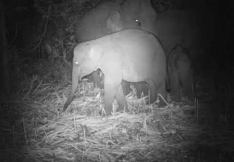 Large group of wild Asian elephants