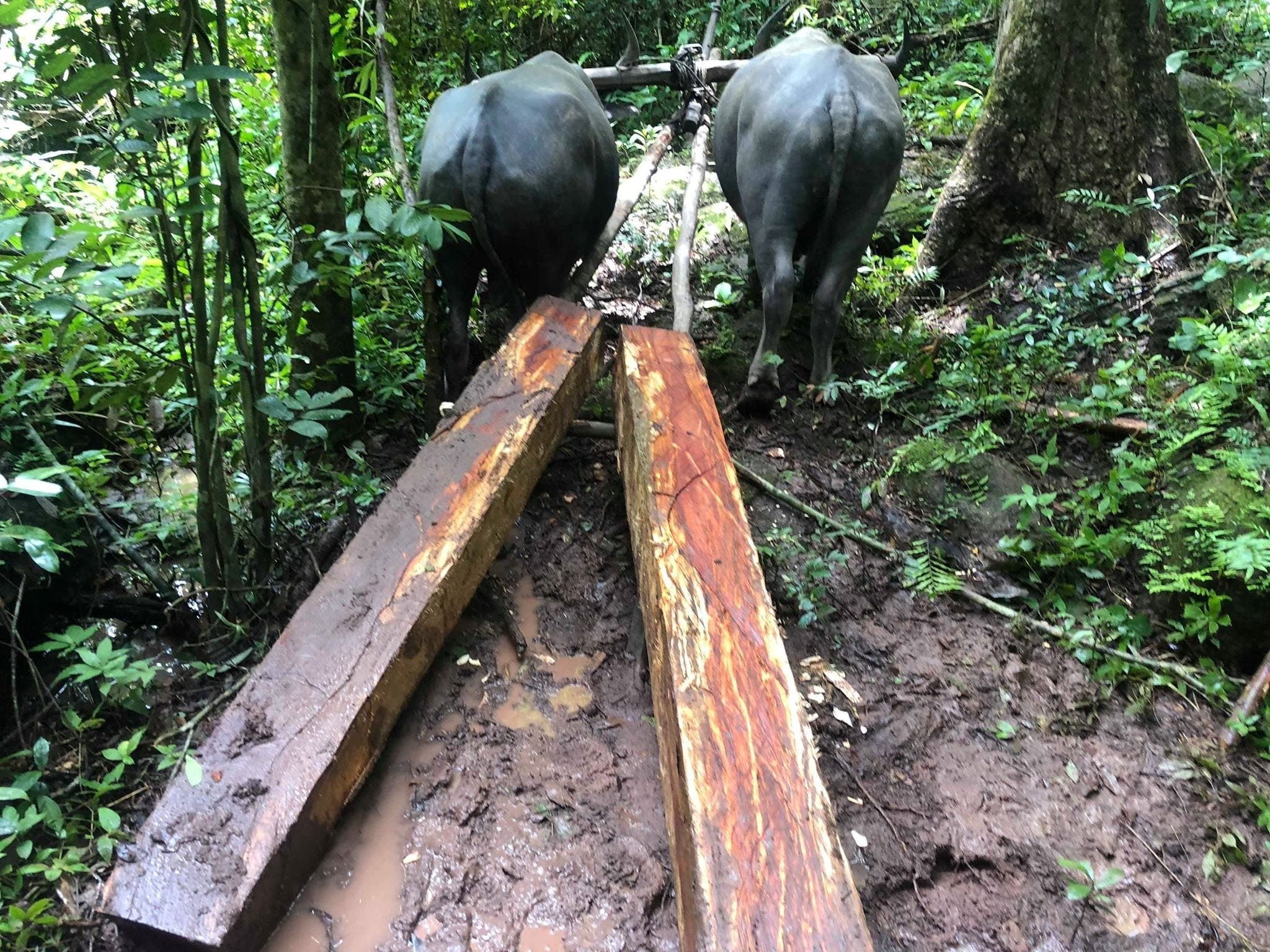 Luxury Timber logging Cambodia
