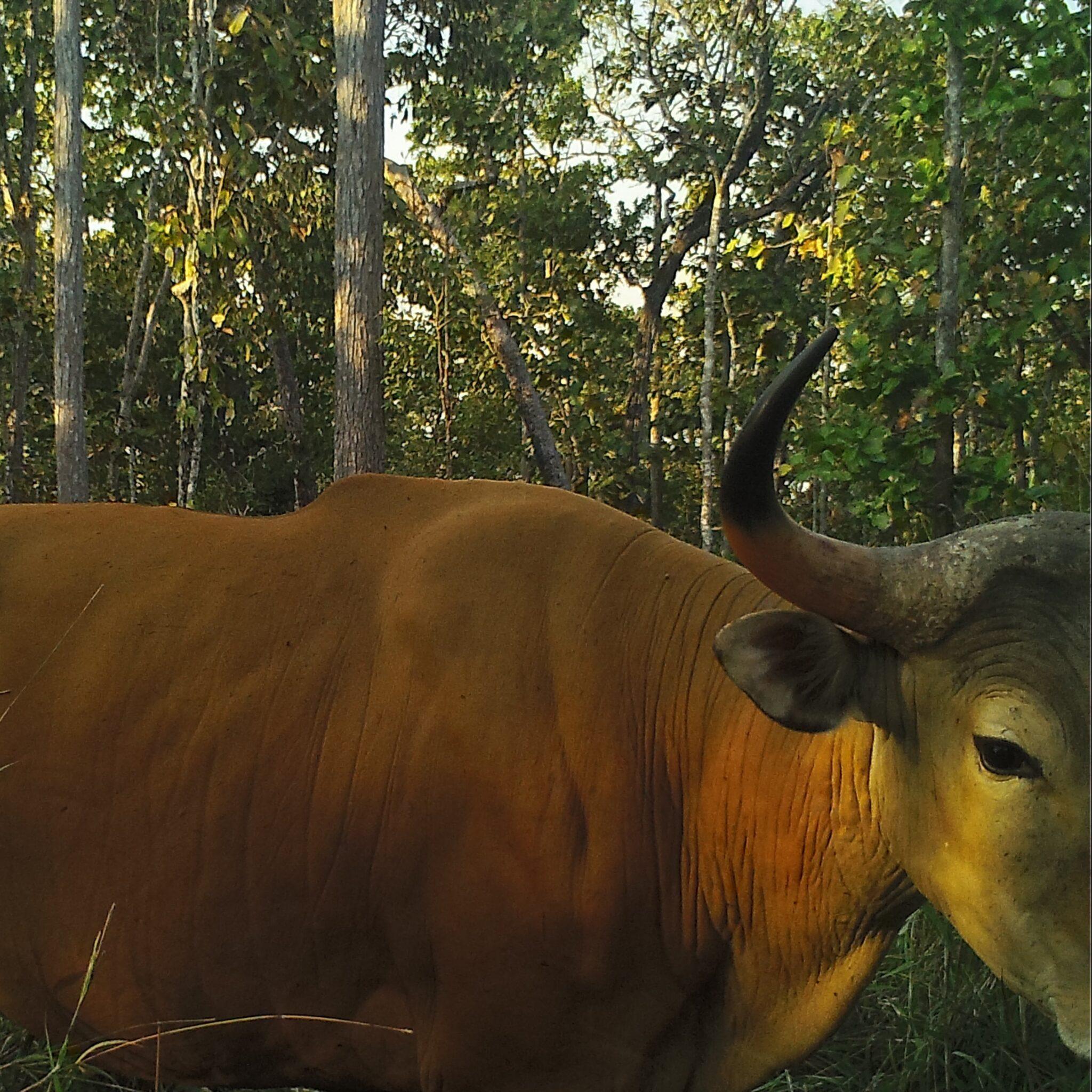 World's largest population of Banteng