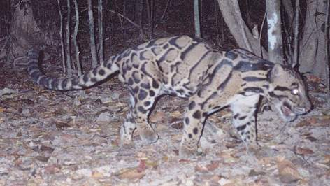 Clouded Leopard caught on camera