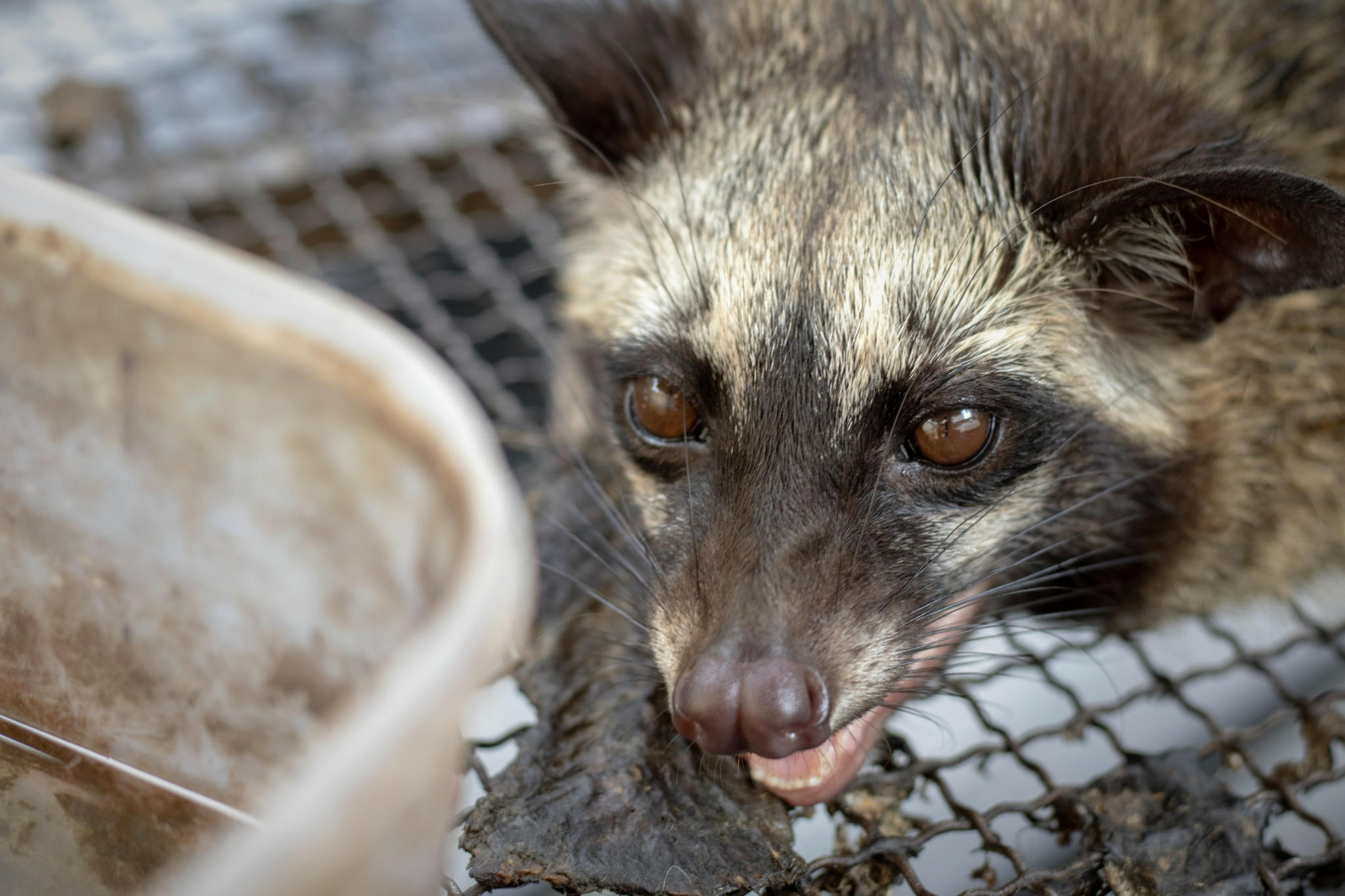 What You Need to Know about Civet Coffee