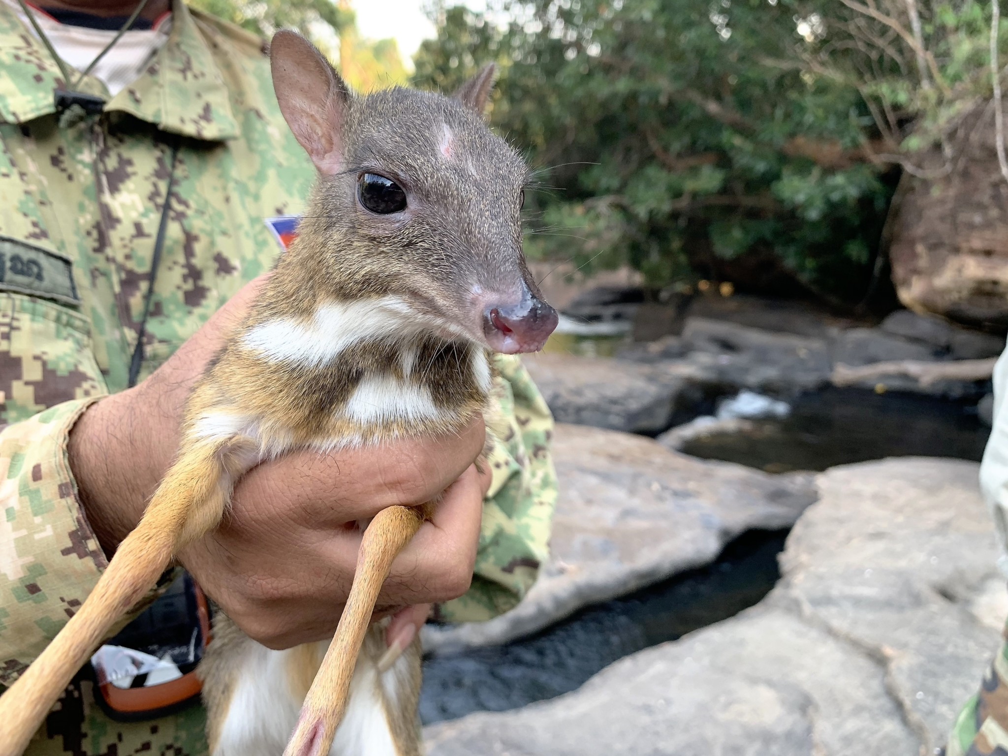 Rangers rescue the smallest deer in the world from a poacher