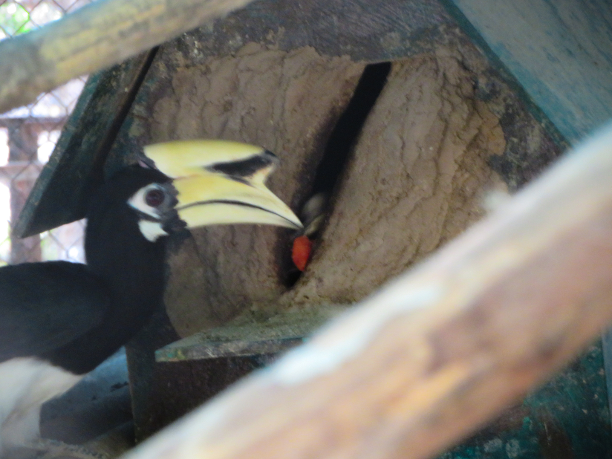 Shut-ins: hornbills at rescue center seal off their nest to raise chicks