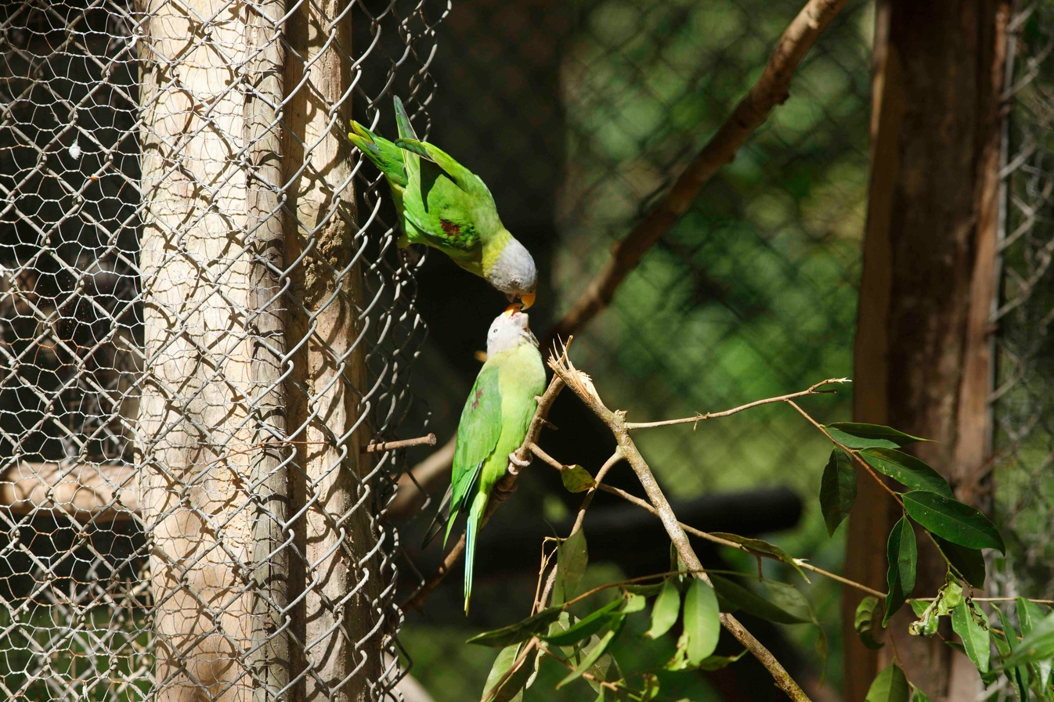 From wildlife traders to the wild: the journey of two parakeets rescued from the illegal pet trade