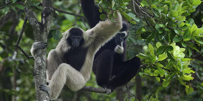 International Gibbon Day 2019